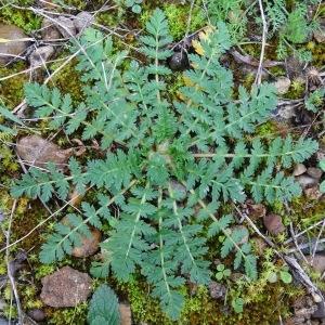 - Erodium cicutarium (L.) L'Hér.