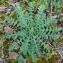 Paul Fabre - Erodium cicutarium (L.) L'Hér.