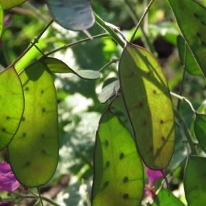 Photographie n°729932 du taxon Lunaria annua L.