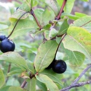 Photographie n°730312 du taxon Lonicera nigra L. [1753]