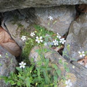 Photographie n°730515 du taxon Atocion rupestre (L.) B.Oxelman