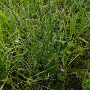 Photographie n°730719 du taxon Allium schoenoprasum L.