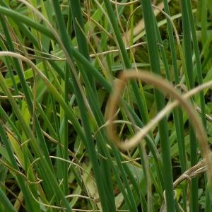 Photographie n°730720 du taxon Allium schoenoprasum L.