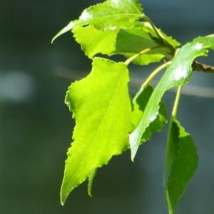 Photographie n°732037 du taxon Populus nigra L.
