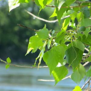 Photographie n°732039 du taxon Populus nigra L.