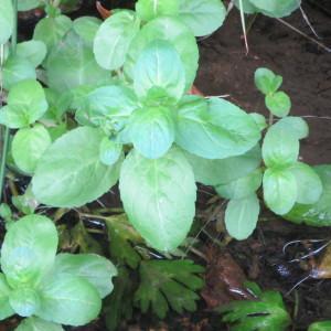 Photographie n°732070 du taxon Veronica beccabunga subsp. beccabunga