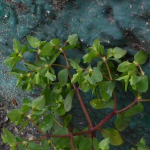 Photographie n°733166 du taxon Euphorbe des jardins