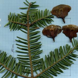 Photographie n°733279 du taxon Abies alba Mill. [1768]