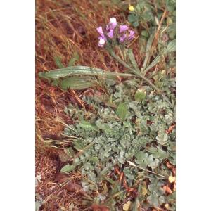Limonium sinuatum (L.) Mill. (Limonium à feuilles sinuées)