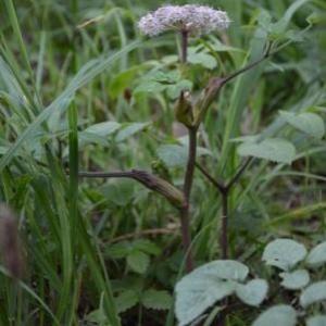 Photographie n°733705 du taxon Angelica sylvestris L. [1753]