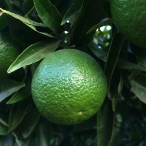 - Citrus aurantiifolia (Christm.) Swingle