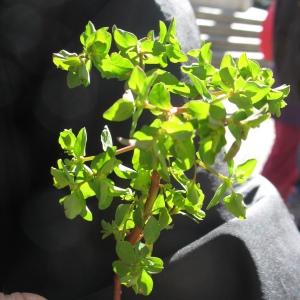 Photographie n°734102 du taxon Euphorbia peplus L. [1753]