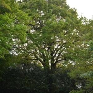 Photographie n°734258 du taxon Quercus robur L. [1753]