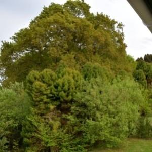 Photographie n°734259 du taxon Quercus robur L. [1753]