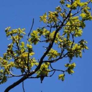 Photographie n°734260 du taxon Quercus robur L. [1753]