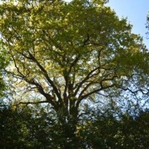 Photographie n°734262 du taxon Quercus robur L. [1753]