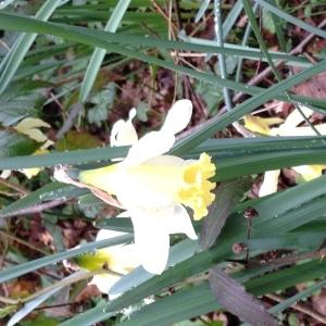 Photographie n°734272 du taxon Narcissus pseudonarcissus L. [1753]