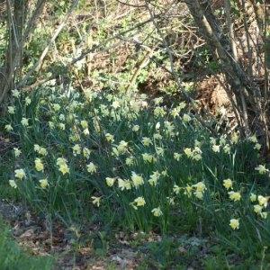Photographie n°734273 du taxon Narcissus pseudonarcissus L. [1753]