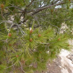 Photographie n°734291 du taxon Pinus halepensis Mill. [1768]