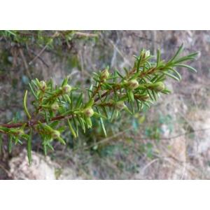 Cistus umbellatus subsp. viscosus (Willk.) Demoly (Hélianthème visqueux)