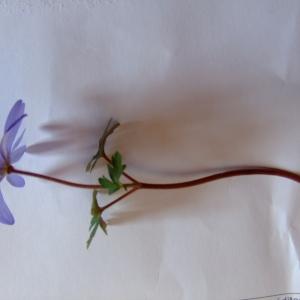Photographie n°734348 du taxon Anemone blanda Schott & Kotschy [1854]