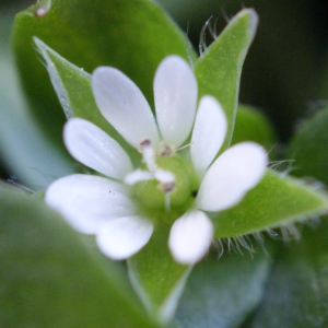 Photographie n°734408 du taxon Stellaria media (L.) Vill. [1789]