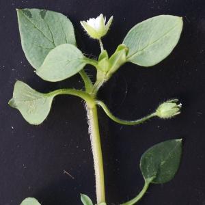 Photographie n°734413 du taxon Stellaria media (L.) Vill. [1789]