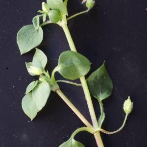 Photographie n°734416 du taxon Stellaria media (L.) Vill. [1789]