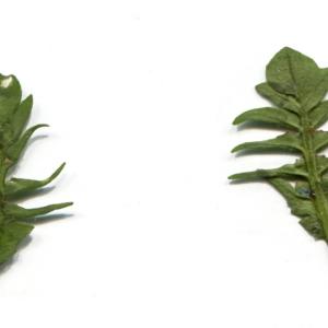 Photographie n°734869 du taxon Capsella bursa-pastoris (L.) Medik. [1792]