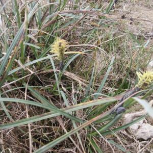 Photographie n°735087 du taxon Carex glauca Scop. [1772]