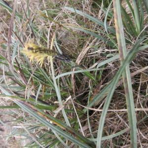 Photographie n°735089 du taxon Carex glauca Scop. [1772]