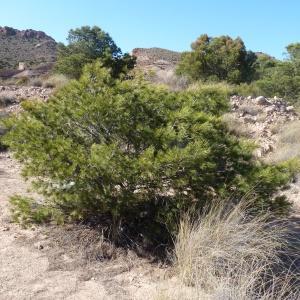Photographie n°735340 du taxon Pinus halepensis Mill. [1768]