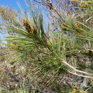 Photographie n°735342 du taxon Pinus halepensis Mill. [1768]