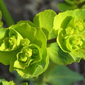 Photographie n°735408 du taxon Euphorbia serrata L. [1753]