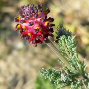 - Platycapnos spicata (L.) Bernh.