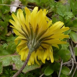 Photographie n°736108 du taxon Crepis sancta (L.) Bornm. [1913]