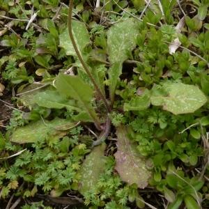 Photographie n°736110 du taxon Crepis sancta (L.) Bornm. [1913]