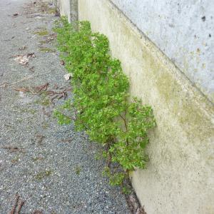 Photographie n°736961 du taxon Euphorbia peplus L. [1753]