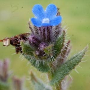 Lycopsis arvensis L. (Buglosse des champs)