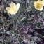 Liliane Roubaudi - Anemone alpina subsp. apiifolia (Scop.) O.Bolòs & Vigo [1974]