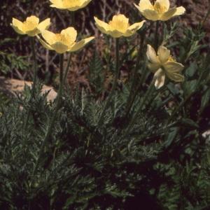 Photographie n°737983 du taxon Anemone alpina subsp. apiifolia (Scop.) O.Bolòs & Vigo [1974]