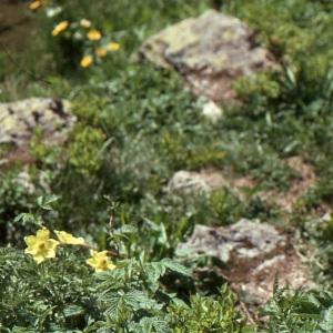 Photographie n°737985 du taxon Anemone alpina subsp. apiifolia (Scop.) O.Bolòs & Vigo [1974]