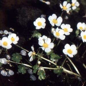 Photographie n°737991 du taxon Ranunculus ololeucos J.Lloyd