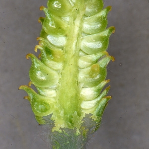- Ranunculus pyrenaeus L.