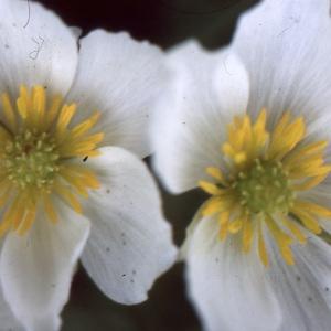 Ranunculus pyrenaeus subsp. plantagineus (All.) Rouy & Foucaud (Renoncule des Pyrénées)