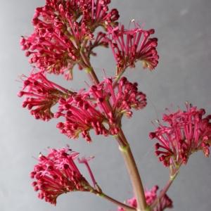 Photographie n°738378 du taxon Centranthus ruber (L.) DC. [1805]