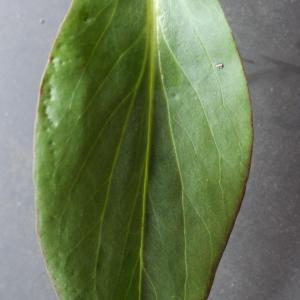 Photographie n°738389 du taxon Centranthus ruber (L.) DC. [1805]