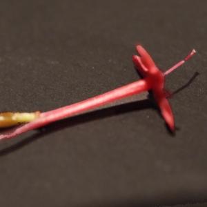 - Centranthus ruber (L.) DC.