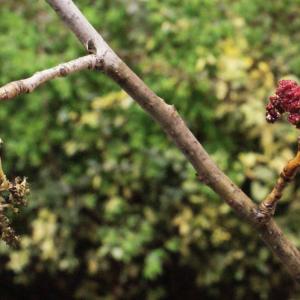 Photographie n°739211 du taxon Populus nigra L.
