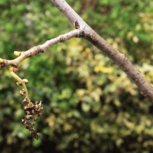 Photographie n°739212 du taxon Populus nigra L.